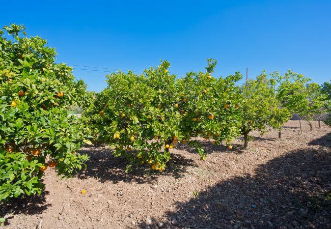 Orangenbäume rund um den Finca